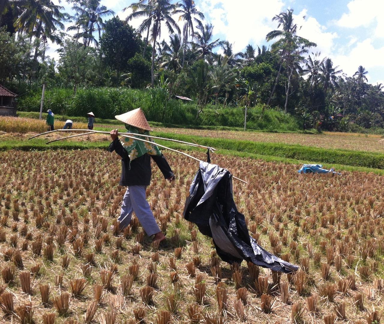 Bali arroz