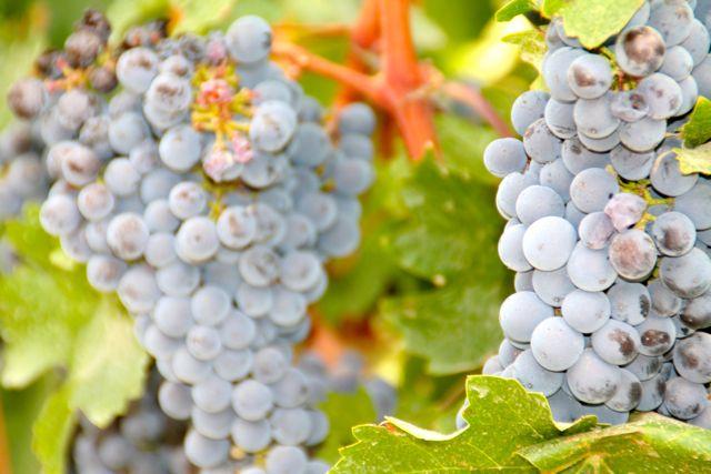 Da uva se faz o vinho, esta bebida que tanto nos fascina e embebeda!
