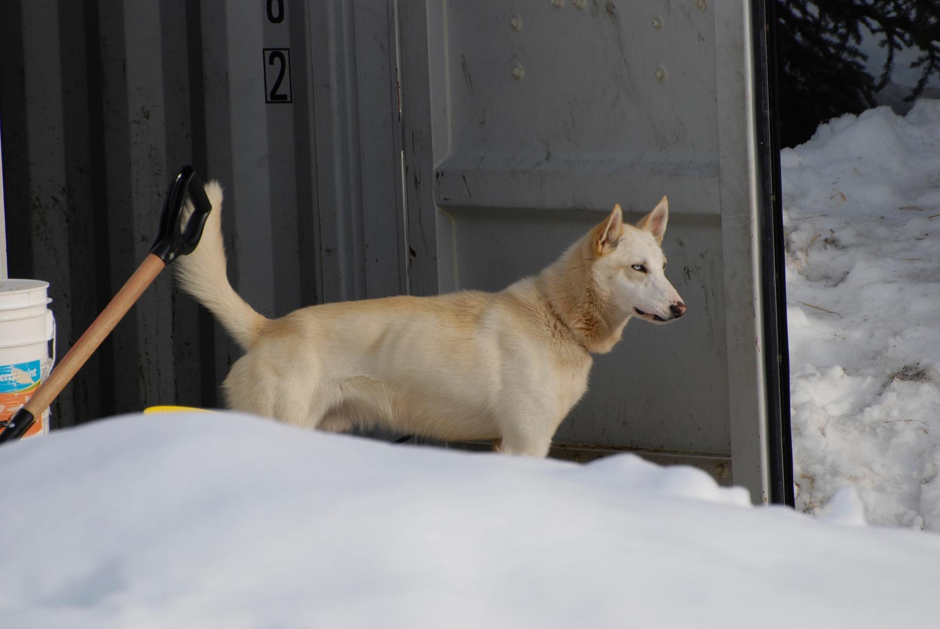 Canada-dogsled-Whistler - 1 (2)
