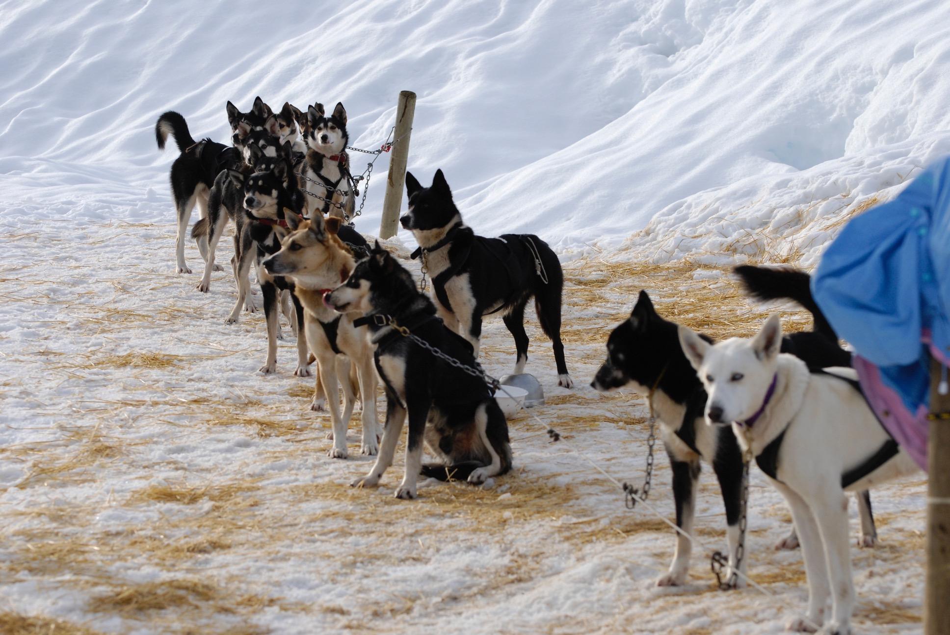 Whistler dogsled