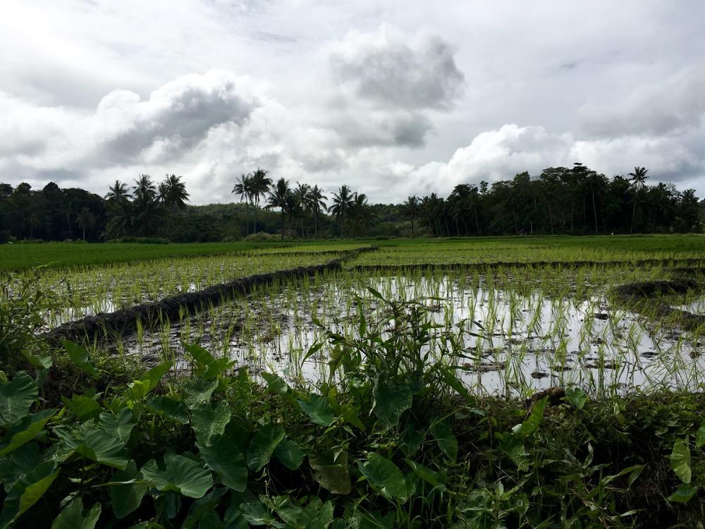 bohol filipinas arroz
