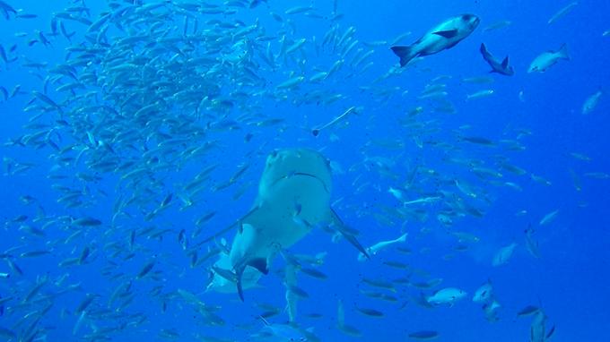 Mergulho com tubarões bull sharks em Fiji