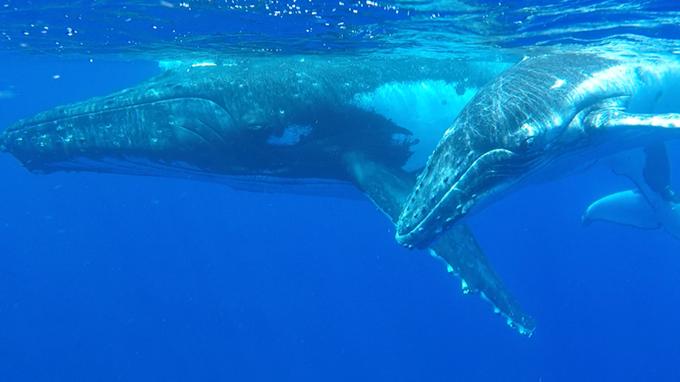 Nadar com baleias jubartes em Tonga