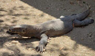 Dragões de Komodo