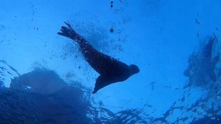 Mergulho com leões marinhos