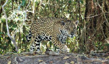 Onça pintada no Pantanal