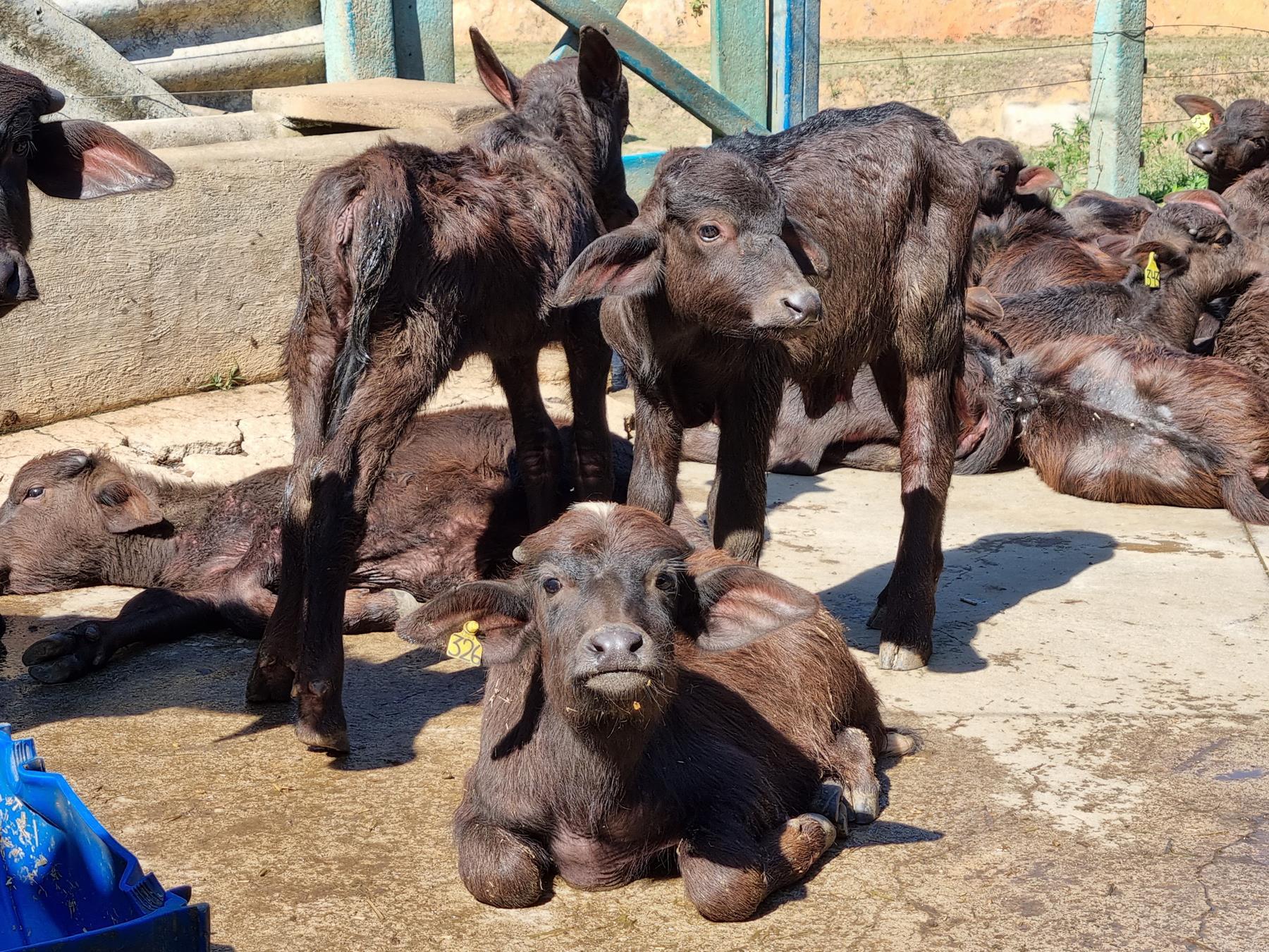 Bufalas da Fazenda Alliança no Vale do Café